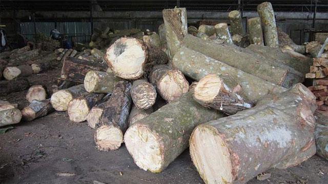 Bãi gỗ tròn cây cao su