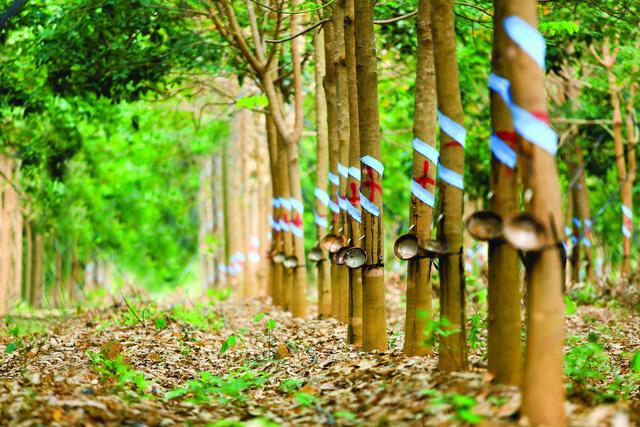 Gia công tẩm sấy bảo quản gỗ cao su
